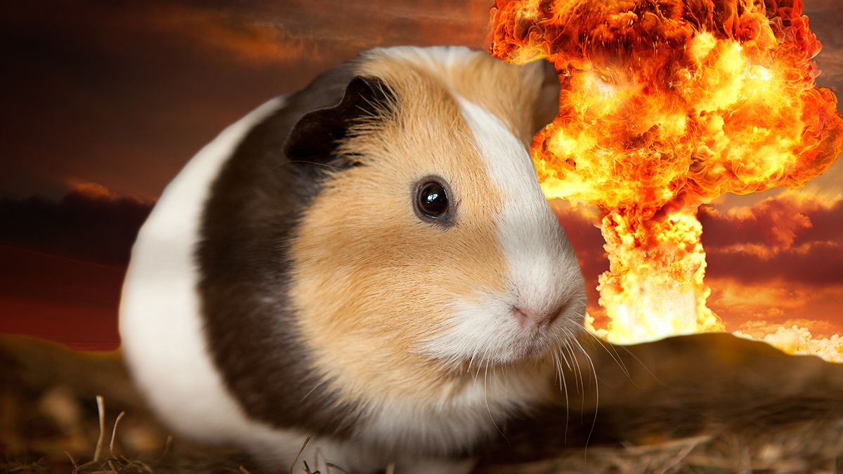 Nevada City Guinea Pig Sugar Peaches isn't concerned about the pending nuclear holocaust brought on by a Donald Trump[ Presidency.