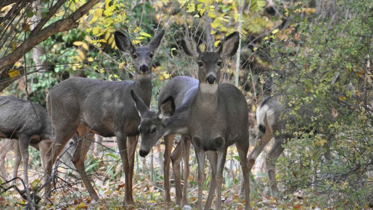 Mayhem: Nevada City Uses Deer to Eat Underbrush During Hunting Season