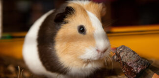 "A Nevada City guinea pig seemed uninterested in a ""short rib treat"" left by its 12 year old owner."