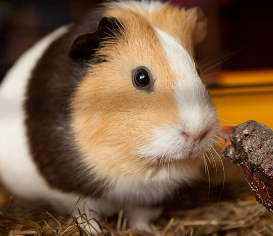 """A Nevada City guinea pig seemed uninterested in a """"short rib treat"""" left by its 12 year old owner."""