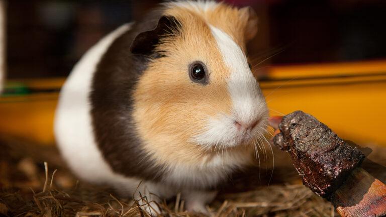 Area Guinea Pig Unimpressed With Leftover Short Rib