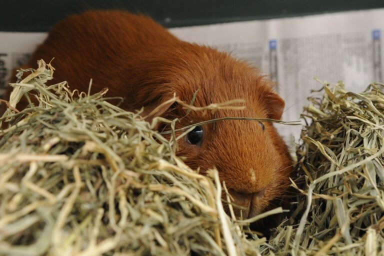 Area Guinea Pig Obtains Higher Consciousness In Pile Of Timothy Hay