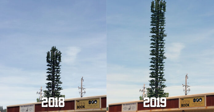 A 2018/2019 comparison of the remarkable growth the Grass Valley cell phone tower has experienced following this year's record rainfall.